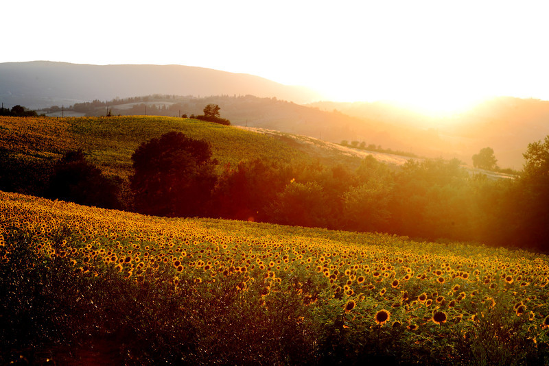 Acres of sunflowers on the road from Colle Val D'Elsa to San Gimignano.