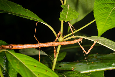 INSECT - stick insect-2537