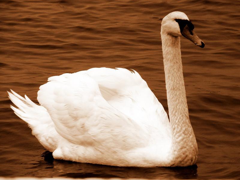 Chocoalate Swan