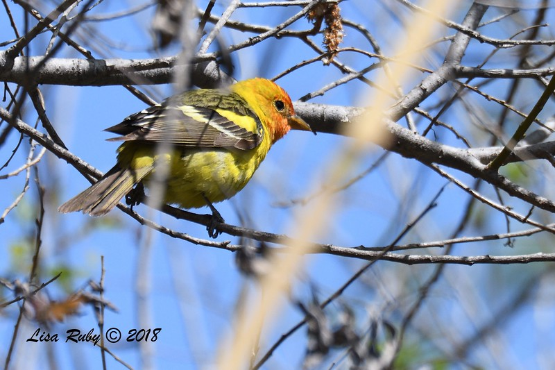 Western Tanager - 5/13/2018 - Roselle St. Riparian Area
