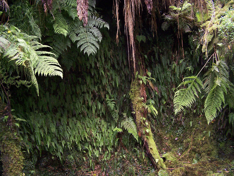 """Fern grotto (East Maui) This image is licensed under the Creative Commons Attribution-NonCommercial 3.0 Unported license.  You may share and adapt this work, but only with attribution (""""by Hank L. Oppenheimer"""") and only for non-commercial purposes unless permission is obtained from the copyright-holder (contact webmaster@hear.org)."""