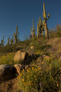 Mexican poppies and Saguaro