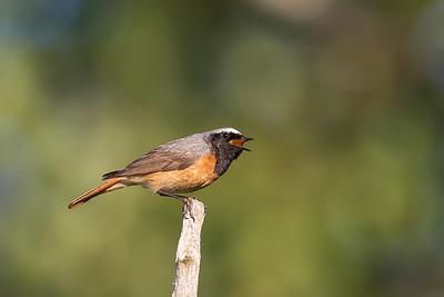 Järnsparvar till trastfåglar / Accentors to Thrushes
