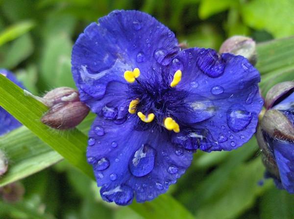 Tradescantia 'Zwanenburg Blue'.jpg