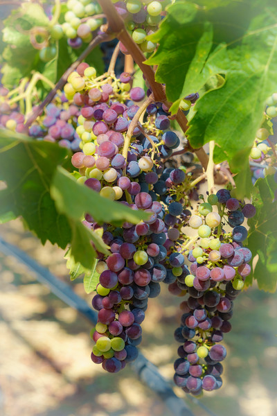 Wine Vineyards (1 of 1).jpg