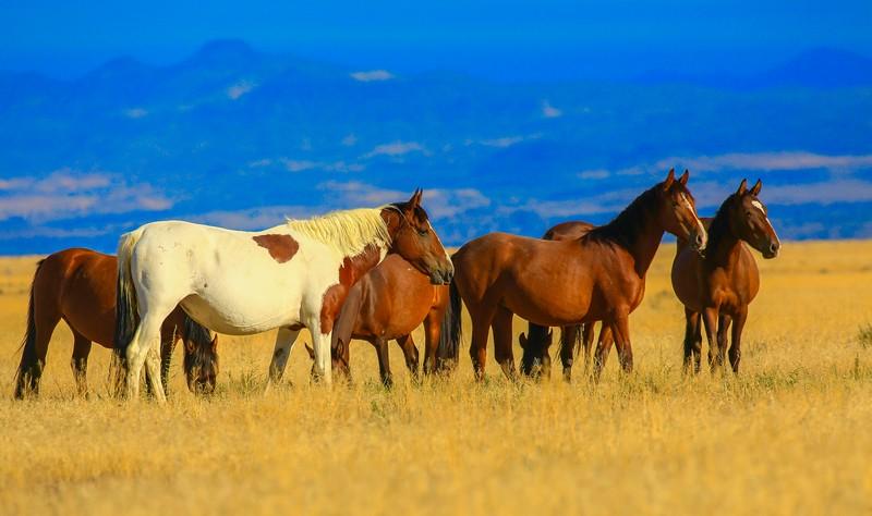 Wild Mustangs-Gallery #3