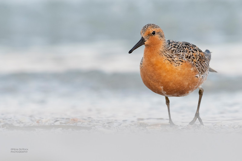 Red Knot, Fort De Soto, St Petersburg, FL, USA, May 2018-3.jpg