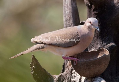 Plumbeous Pidgeon