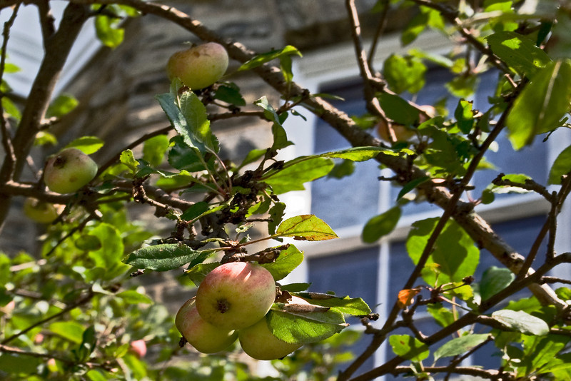 Ripe Apples 2.jpg