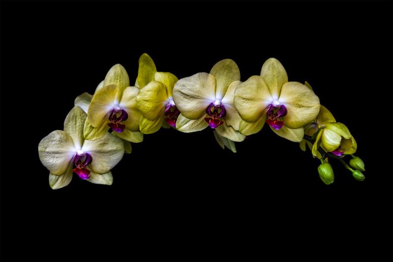 Phalaenopsis Moth Orchid