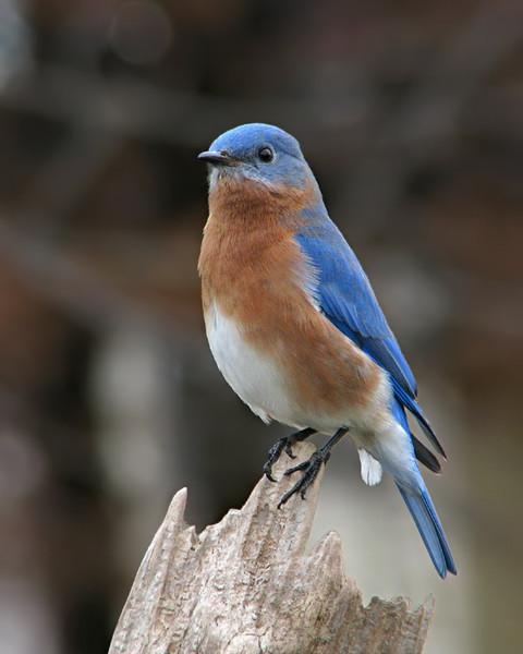 bluebird_0441.jpg