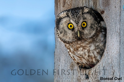 Boreal Owl, Kuusamo, Finland