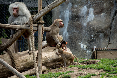 Baby Baboons 2015