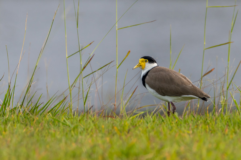 Masked Lapwing, Sippy Downs