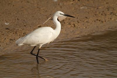 Little egret (Garceta común)