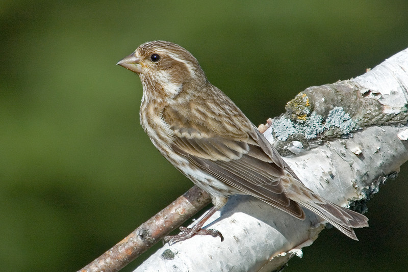 Finch - Purple - female - Itasca County, MN - 02