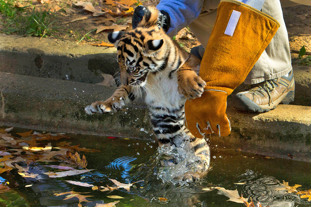 """. A three-month-old Sumatran tiger cub named \""""Sukacita\"""" is lowered into the tiger exhibit moat for a swim reliability test at the National Zoo in Washington, Wednesday, Nov. 6, 2013.  (AP Photo/Manuel Balce Ceneta)"""