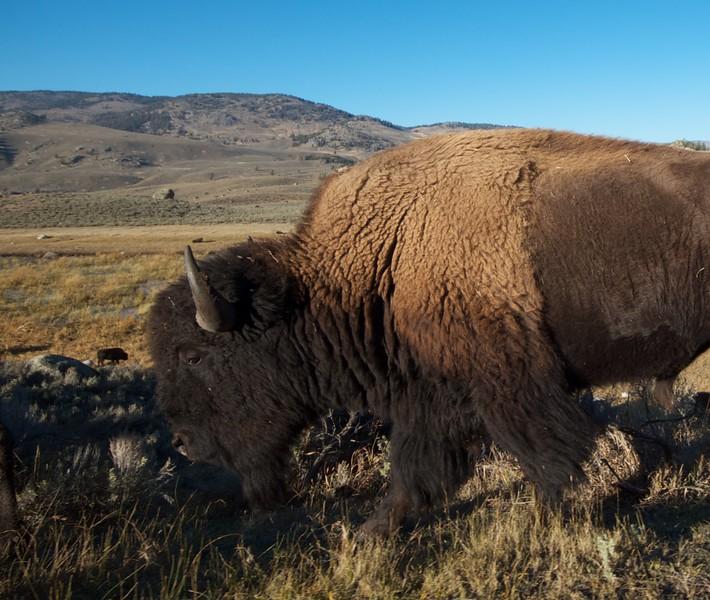 Bison Yellowstone N.P. WY IMG_0069226.jpg