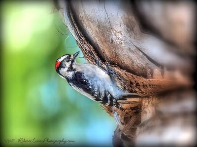 downy woodpecker (Dryobates pubescens)