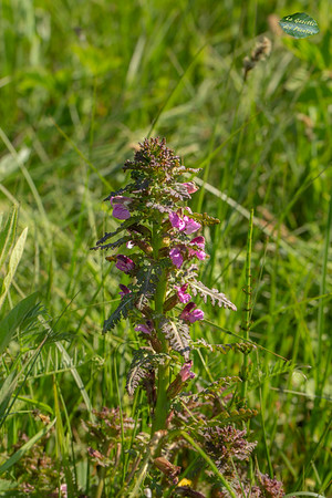 Pédiculaire des marais (Pedicularis palustris)