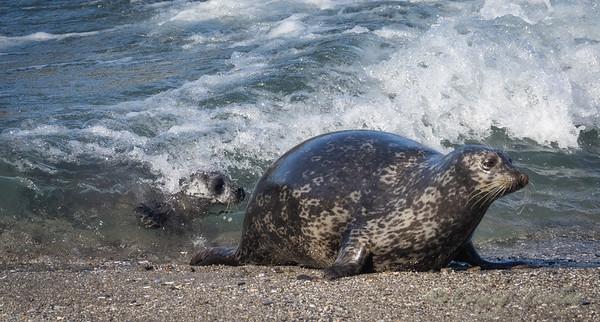 Harbor Seal Pups 2020