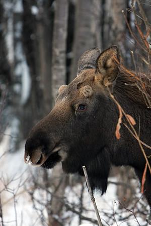 Moose 2008