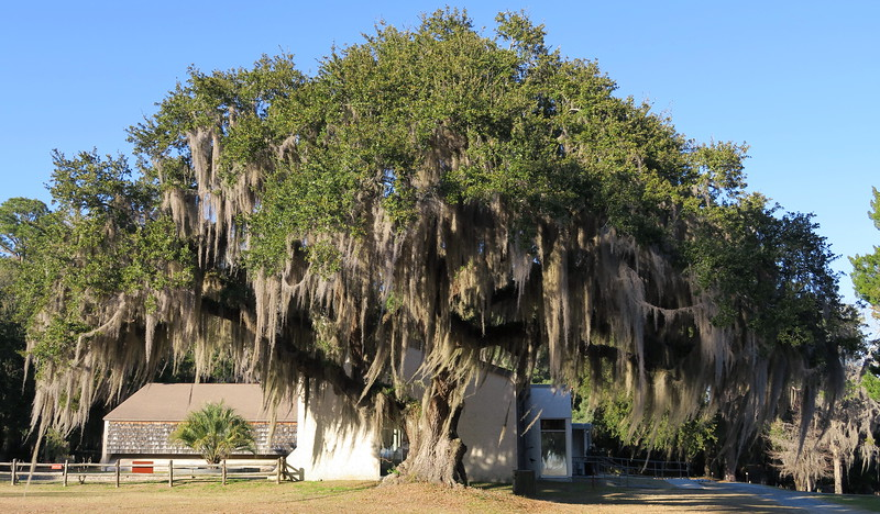 A massive, sprawling, moss-covered live oak all but dwarfs the park visitor center behind it...