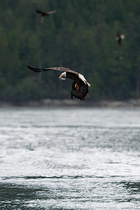 Bald Eagles swarm to the Lake caught in the sea rapids