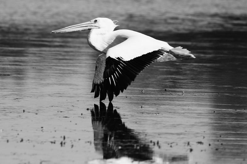 White Pelican So. FL 2020-3.jpg