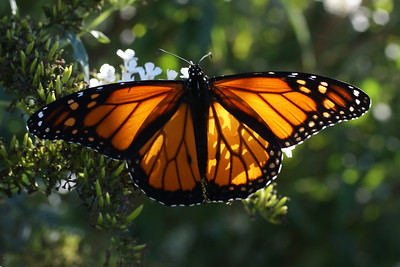 Late Monarch in September 09