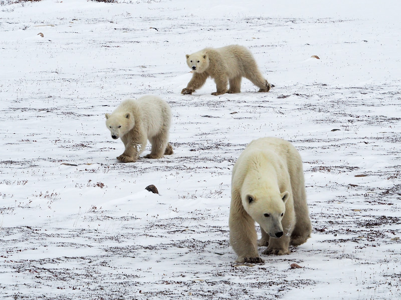Mother polar bear and twin cubs