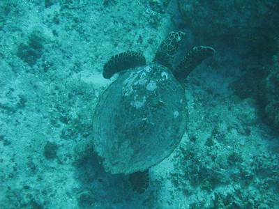 2018-03-09 Gun Beach (turtle)