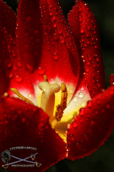 Wet Tulip 2.JPG