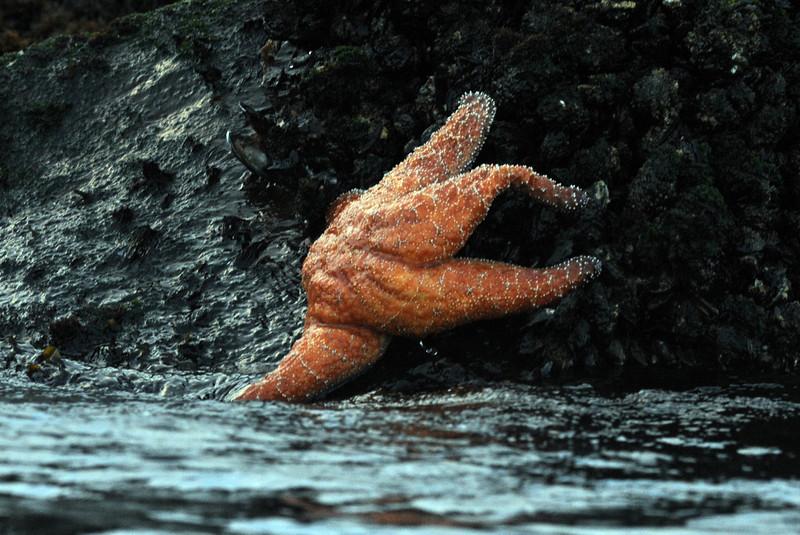 Ochre Starfish, Pisatre Ochraceous.