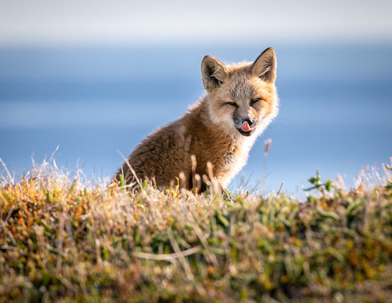 red fox backlit L 3586-.jpg