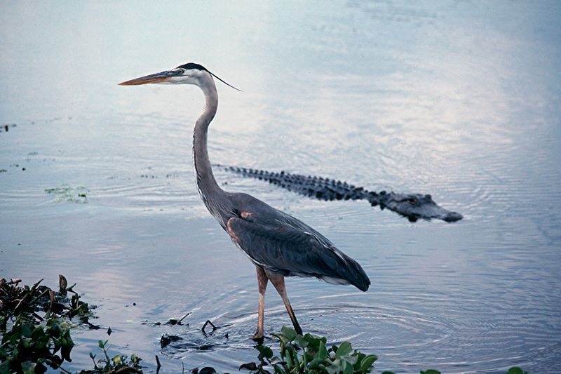 Great Blue Heron and American Alligator - Florida