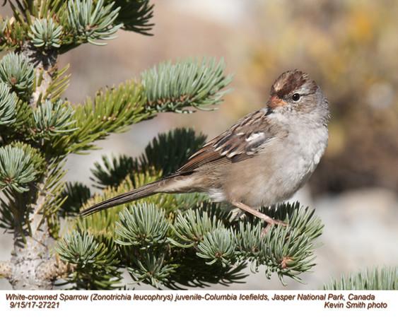 White-crowned Sparrow J27221.jpg