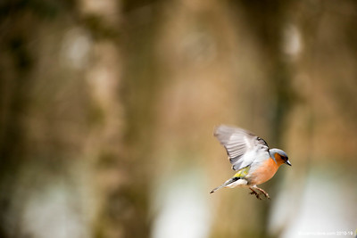 Chaffinches - Set 2