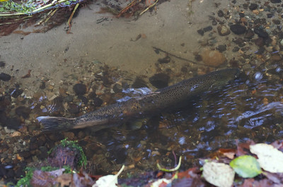 2012 Salmon at Fauntleroy Creek