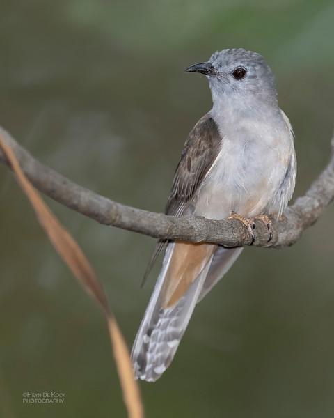 Brush Cuckoo, Townsville, QLD, Jan 2020-2.jpg