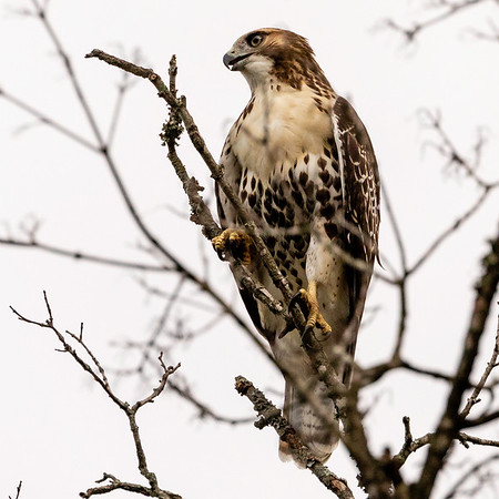 2020 07 Red Tailed Hawk