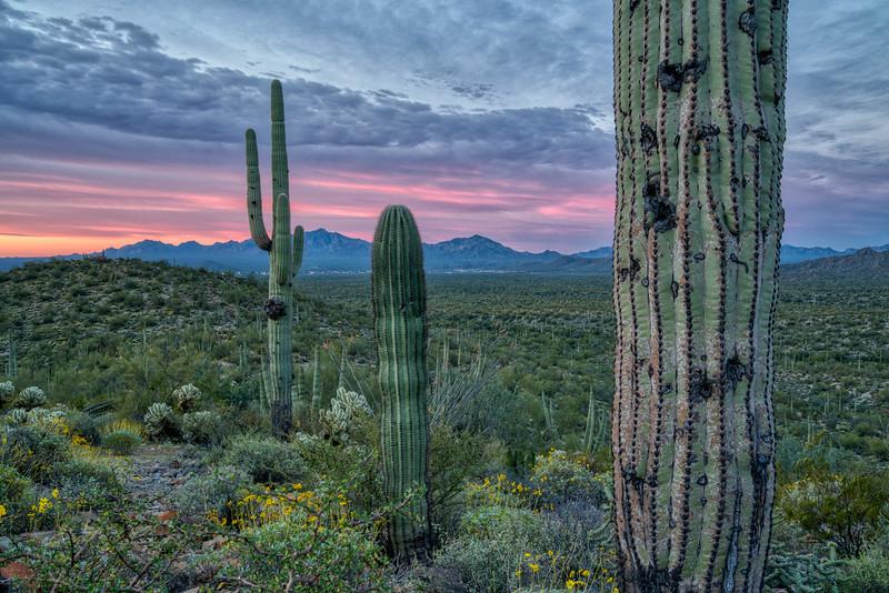 Organ Pipe Cactus 2020-11.jpg
