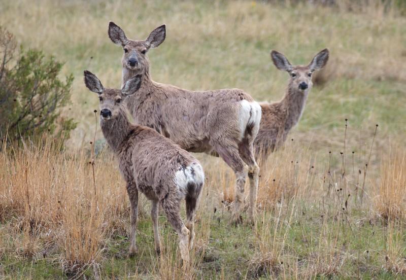 Mule Deer Theodore Roosevelt National Park ND IMG_9381.jpg