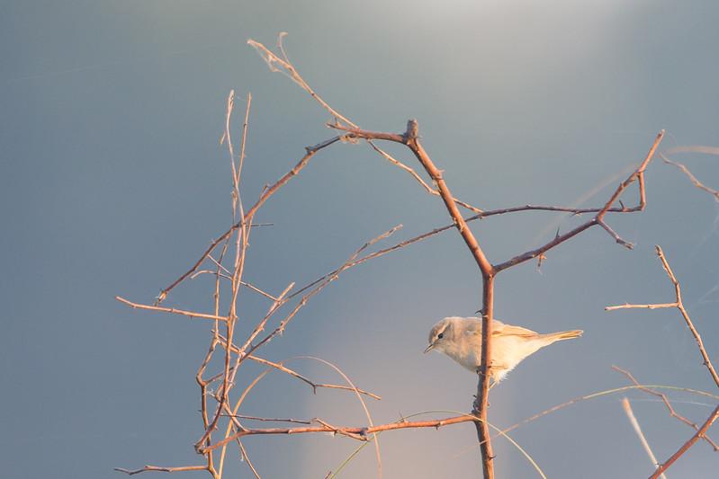 Common Chiffchaff - Near Koradi, Nagpur, India