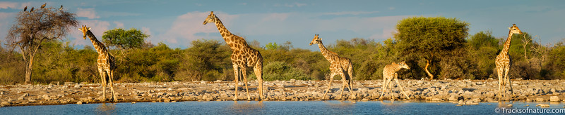 A tower of giraffes drinking wearily at Rietfontein waterhole, Etosha National Park
