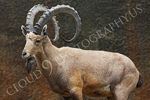 Ibex Wildlife Photography