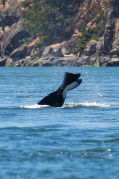 Orcas -  073115-070.jpg