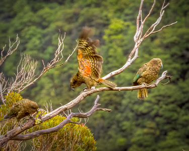 New Zealand Parrots