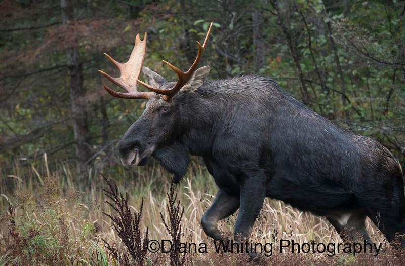Bull Moose Fall Algonquin Provincial Park