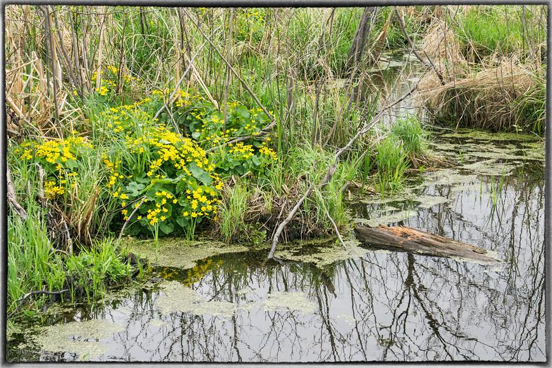 Spring Flowers in Dunrobin Marsh